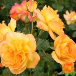 Роза Сахара (Sahara) плетистая