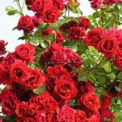 Роза Симпати (Sympatie) плетистая