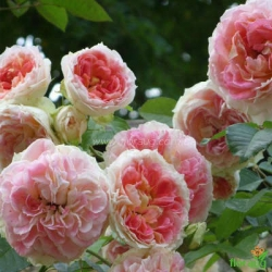 Роза Цезарь (Cesar) плетистая