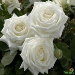Роза Вайт Кристмас (White Christmas)