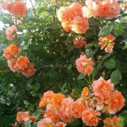 Роза Вестерленд (Westerland) плетистая