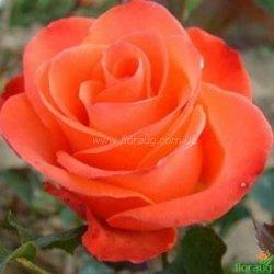 Роза Вау (Wow)