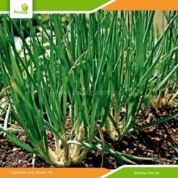 Лук севок Шалот (Украина) на зелень 500г
