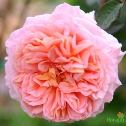 Роза Абрахам Дерби (Abraham Darby) английская
