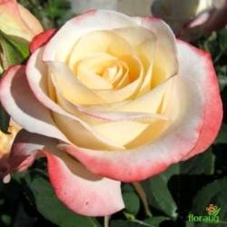Роза Белла Перла (Belle Perle)