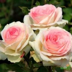 Роза Бидермайер Гарден (Biedermeier Garden)