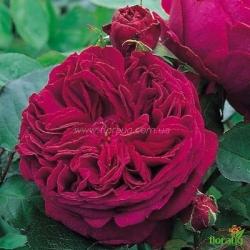 Роза Фальстаф (Falstaff) английская