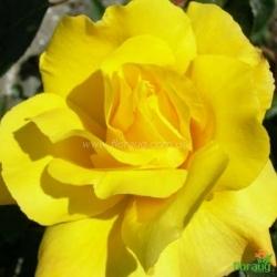 Роза Голден Шауэрс (Golden Showers) плетистая