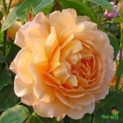 Роза Грейс (Grace) английская