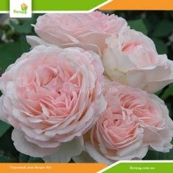 Роза Клер Роуз (Claire Rose) английская