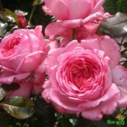 Роза Ля роз де Молинар (La Rose de Molinard) плетистая