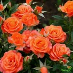 Роза Мандарин Симфони (Mandarine Symphonie) миниатюрная