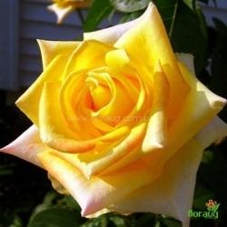 Роза Мохана (Mohana)