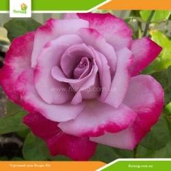 Роза Парадиз (Paradise)