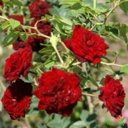 Роза Ред Каскад (Red Cascade) почвопокровная