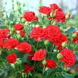 Роза Рослини миниатюрная