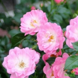 Роза Сатина (Satina) почвопокровная