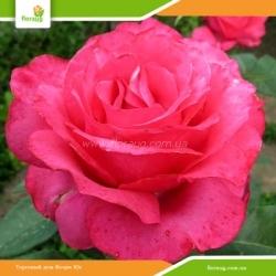 Роза Венроза (Venrosa) или Роза Высоцкого